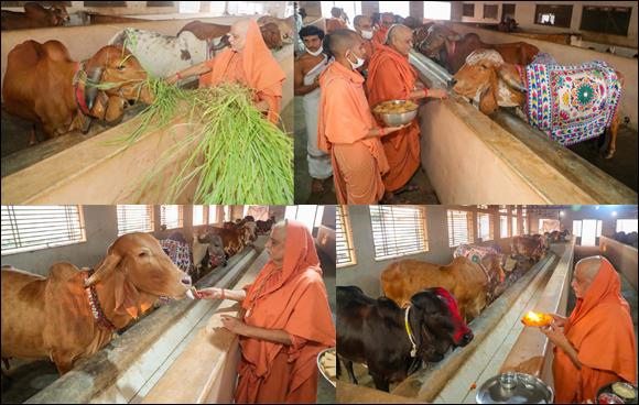 અધિક  માસની પૂર્ણિમાના દિને શા.માધવપ્રિયદાસજી સ્વામીના હસ્તે: SGVP દ્રોણેશ્વર ગુરુકુલમાં ગૌપૂજન