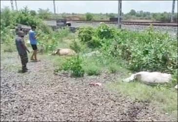 વલસાડના જોરાવાસણ રેલવે સ્ટેશન નજીક ગુડસ ટ્રેનની અડફેટથી 11 ગાયોના મોત થતાં સમગ્ર પંથકમાં ચકચાર